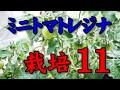 【タイムラプス】ミニトマトレジナ栽培 11